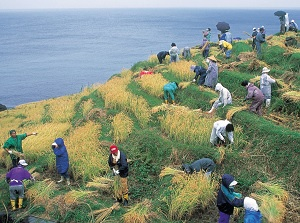 Harvesting in Shiroyone Senmaida