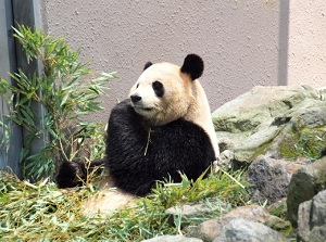 Giant panda in Adventure World