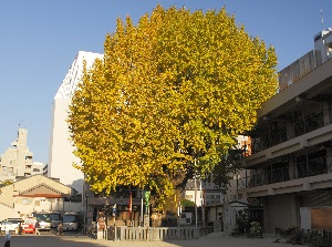 Big ginkgo tree in Kushida Shrine