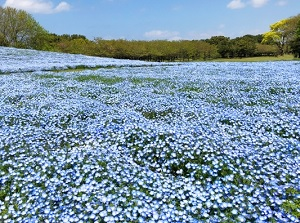 Nemophila in Uminonakamichi Seaside Park